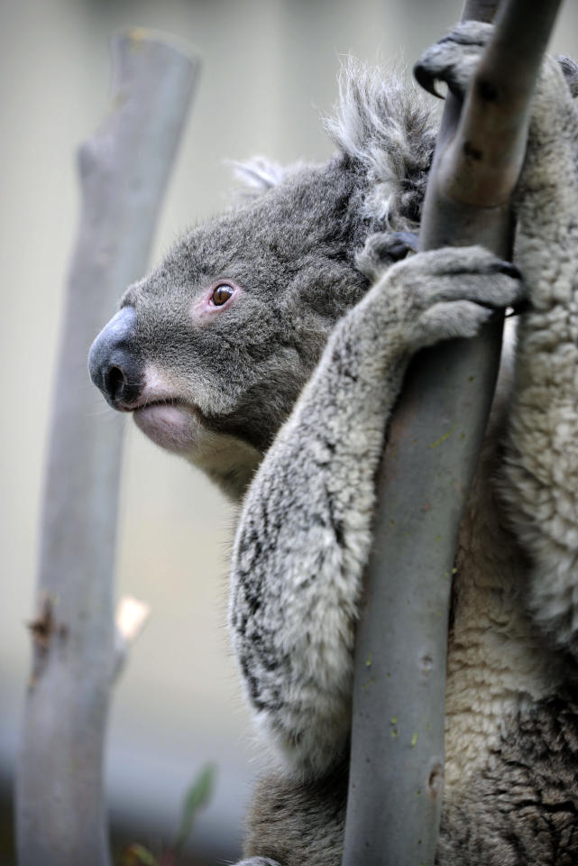 A koala, an arboreal Australian marsupial, clings to a tree on the grounds of Parliament House on the National Threatened Species Day in Canberra, Australia, Tuesday Sept. 7, 2010. The National Threatened Species Day commemorates the day the last known Tasmanian tiger died in 1936, urging the people to conserve other threatened unique species in the country. (AP Photo/Mark Graham)