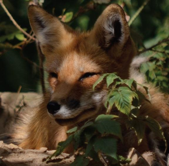 Viral Video: What The Fox Actually Sounds Like