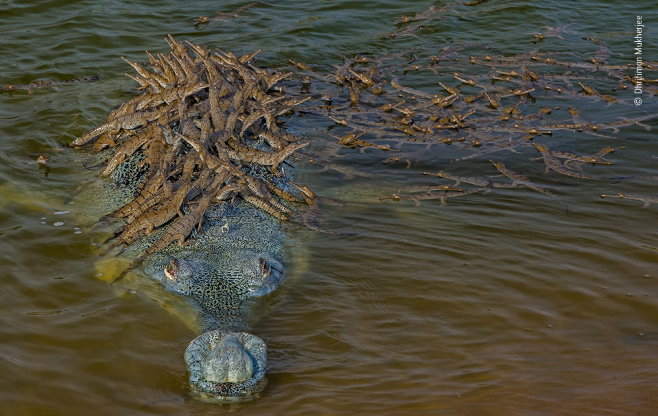 Ever watchful, a large male gharial –at least 4metres (13 feet) long –provides solid support for his numerous offspring.