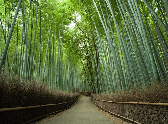 <p>On the outskirts of Kyoto, this giant bamboo grove is filled with thick, green towering stalks that sway and creek to the rhythm of the wind.</p>