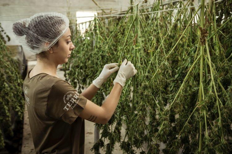 Best Weed Stocks to Buy Now