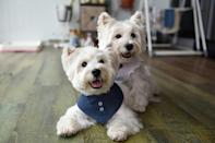 Terriers Sasha and Piper are pet influencers who earn thousands of dollars for product endorsement (AFP/Catherine LAI)