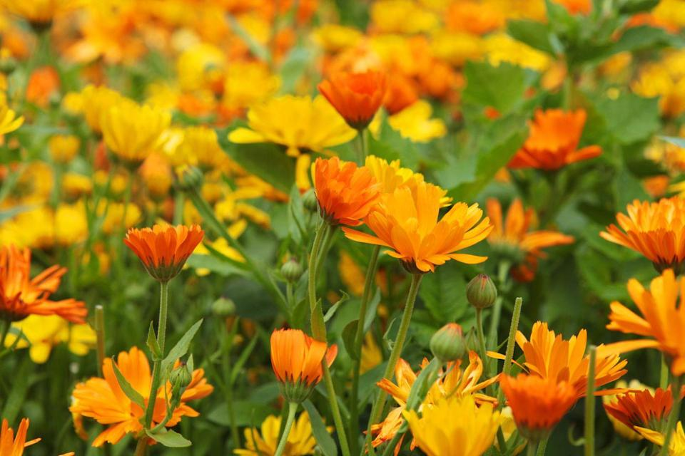 """<p>These pretty orange and yellow flowers, also known as French pot marigold, like full sun. It's an annual that blooms from summer until frost, and it's not difficult to grow from seed (here's how to <a href=""""https://www.countryliving.com/gardening/garden-ideas/a30753842/how-to-start-seeds/"""" rel=""""nofollow noopener"""" target=""""_blank"""" data-ylk=""""slk:start seeds early indoors"""" class=""""link rapid-noclick-resp"""">start seeds early indoors</a>). </p><p><strong>How to use:</strong> Pick the flowers when they're fully opened, but not yet gone to seed. Pour one cup boiling water over two teaspoons of petals. Steep for 10 minutes, strain, and let cool. Use as a mouthwash or gargle to relieve inflammation.</p><p><a class=""""link rapid-noclick-resp"""" href=""""https://www.amazon.com/Seed-Needs-Calendula-Pacific-officinalis/dp/B003TPBKDO/ref=sr_1_2?tag=syn-yahoo-20&ascsubtag=%5Bartid%7C10063.g.35264165%5Bsrc%7Cyahoo-us"""" rel=""""nofollow noopener"""" target=""""_blank"""" data-ylk=""""slk:SHOP CALENDULA"""">SHOP CALENDULA</a></p>"""