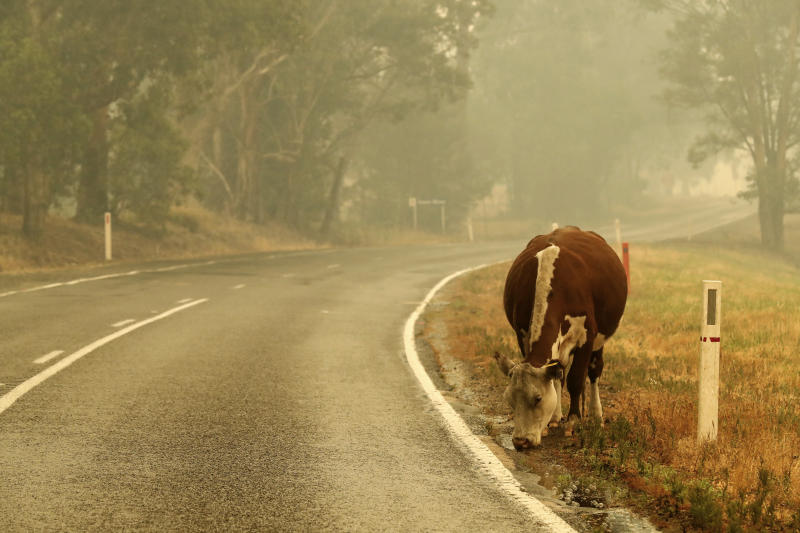 A cow is pictured by the road at Cann River, Australia.