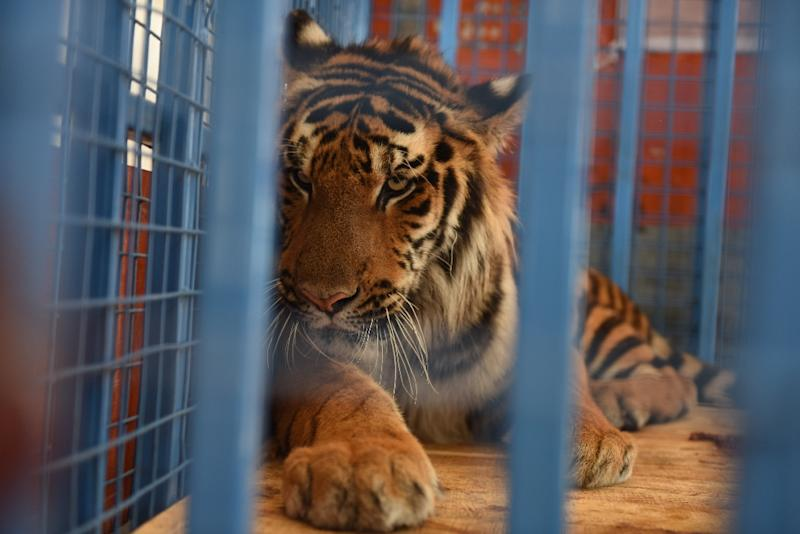Four Paws: One of the tigers rescued from the destroyed Magic World amusement park near Aleppo