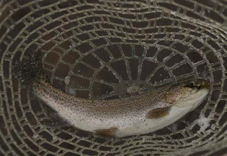 Catch and released rainbow trout is seen in net during winter blizzard at Project Healing Waters in West Virginia