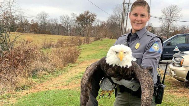 PHOTO: Missouri Department of Conservation Agent Haeley Eichler holds an adult female bald eagle that was rescued after it was shot twice in its wing near Paris, Missouri. (Missouri Department of Conservation)