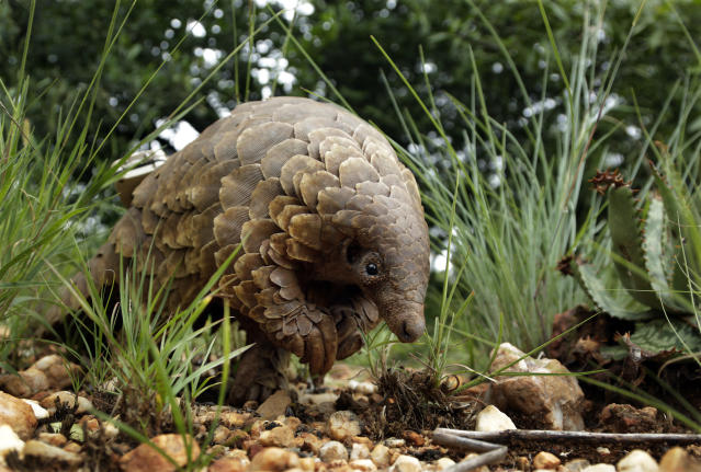 The illegal trafficking of pangolins could be linked to the Coronavirus outbreak (AP Photo/Themba Hadebe)
