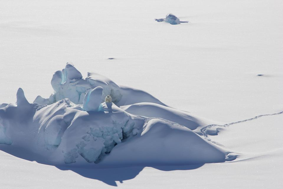 Global heating played a role in the record melting of a 'last refuge' for polar bears in the Arctic (Kristin Laidre/University of Washington)