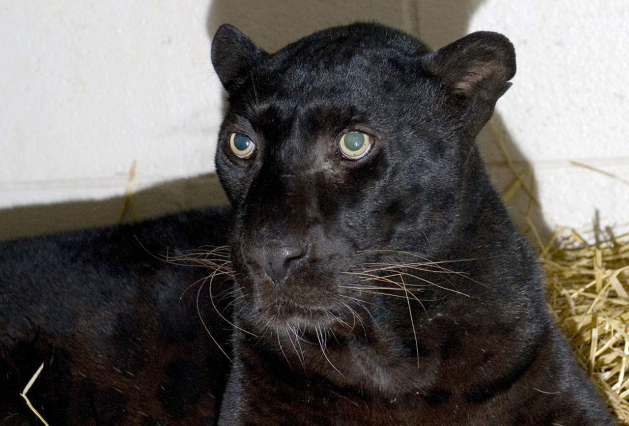This is a handout photo from the Columbus Zoo and Aquarium of a black leopard,  one of three leopards that were captured by authorities Wednesday, a day after their owner released dozens of wild animals and then killed himself near Zanesville, Ohio.  Sheriff's deputies shot and killed 48 of the animals, including 18 rare Bengal tigers, 17 lions, six black bears, two grizzly bears, a baboon, a wolf and three mountain lions. Six of the released animals - three leopards, a bear and two monkeys - were captured and taken to the Columbus Zoo.  (AP Photo/HO-Columbus Zoo and Aquarium/Grahm  S. Jones)