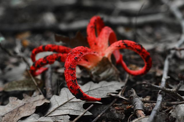 Clathrus archeri, also known as octopus stinkhorn mushroom or devil`s fingers (Picture: Getty)