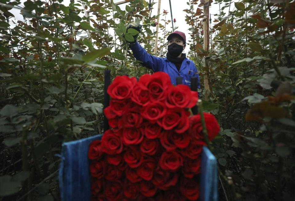 """<span class=""""caption"""">A worker cuts roses to be shipped to the U.S. and Europe at a flower farm in Madrid, Colombia, in August 2020.</span> <span class=""""attribution""""><span class=""""source"""">(AP Photo/Fernando Vergara)</span></span>"""