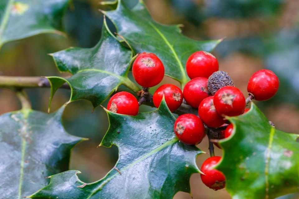 """<p>When you think of holly, you're certain to conjure images of the plant's evergreen leaves and red fruit, but do you consider its thorns? Each of the leathery leaves has <a href=""""https://web.archive.org/web/20090609025123/http://ip30.eti.uva.nl/BIS/flora.php?selected=beschrijving&menuentry=soorten&id=3088"""" rel=""""nofollow noopener"""" target=""""_blank"""" data-ylk=""""slk:three to five spines"""" class=""""link rapid-noclick-resp"""">three to five spines</a> along its sides. They alternate in direction, with some spines pointing upward, and some downward. Meanwhile, the highest branches of mature holly trees completely lack the sharp appendages. </p><p>These spines actually explain the plant's connection to Christmas. Originally, in pre-Christian times, pagans used the plants to ward off evil spirits and to celebrate the Winter Solstice Festival. Over time, Christians added their own meanings to them. The leaves are meant to represent the <a href=""""https://www.whychristmas.com/customs/hollyandivy.shtml"""" rel=""""nofollow noopener"""" target=""""_blank"""" data-ylk=""""slk:crown of thorns"""" class=""""link rapid-noclick-resp"""">crown of thorns</a> that Jesus wore during crucifixion, and the berries represent his blood. In Scandinavia, holly is even referred to as Christ Thorn. </p>"""