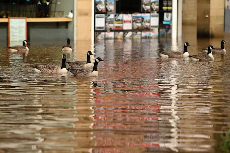 Geese take advantage of the conditions as floodwater fills the streets of Hebden Bridge, northern England, on February 9, 2020, as Storm Ciara swept over the country. - Britain and Ireland hunkered down Sunday for a powerful storm expected to disrupt air, rail and sea links, cancel sports events, cut electrical power and damage property. With howling winds and driving rain, forecasters said Ciara would also hit France, Belgium, the Netherlands, Switzerland and Germany. (Photo by Oli SCARFF / AFP) (Photo by OLI SCARFF/AFP via Getty Images)