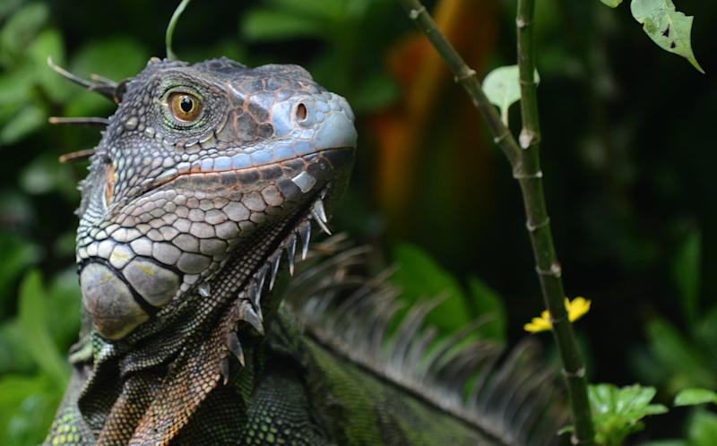 An iguana is seen in the National Biodiversity Institute on May 31, 2012 in Heredia, Costa Rica (AFP Photo/Rodrigo Arangua)