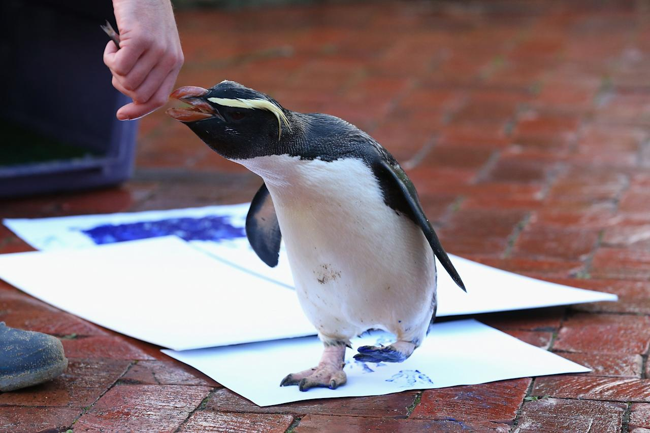 SYDNEY, AUSTRALIA - JUNE 27:  'Mr Munro' a Fiordland penguin walks leaving his paint prints on a canvas at Taronga Zoo on June 27, 2012 in Sydney, Australia. Taronga and Western Plains Zoo today pledged a a new elephant conservation project in Thailand and animals at Taronga made their pledge by dipping their feet and hands in paint and smudging them on canvas.  (Photo by Cameron Spencer/Getty Images) ***BESTPIX***