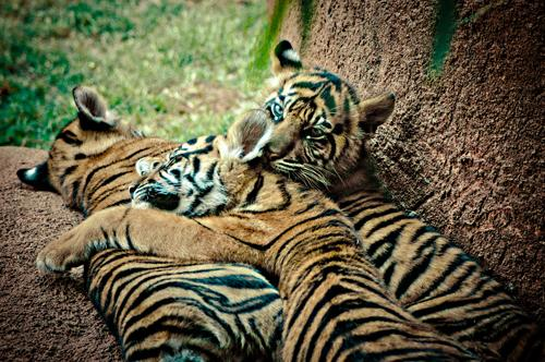 Sumatran tiger cubs at the Oklahoma City Zoo.