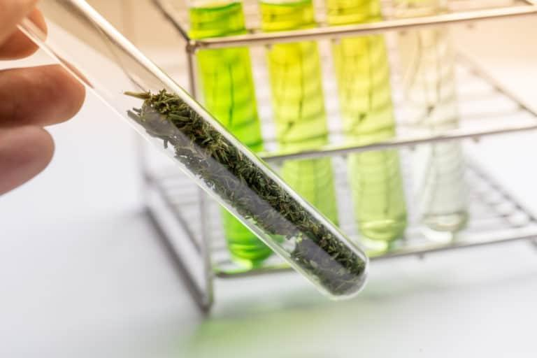 Powder of Cannabis (Drugs), Analysis of Cannabis in laboratory.