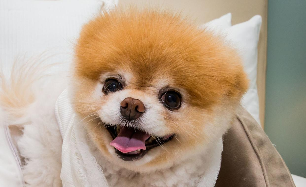 Boo, a dog massively famous on social media for his adorable face, in 2014. (Photo: RTNKabik/MediaPunch/IPx)
