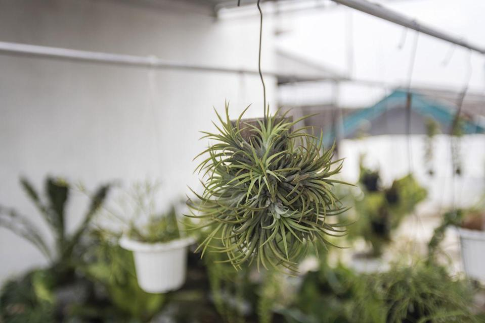 "<p>A low-maintenance, hanging plant, Tillandsias flourish in hot and humid conditions and have a unique look. It's a type of air plant so doesn't need any soil and instead feed through vessels in the leaves. This makes them very easy to care for and mess-free. </p><p><a class=""link rapid-noclick-resp"" href=""https://go.redirectingat.com?id=127X1599956&url=https%3A%2F%2Fwww.crocus.co.uk%2Fbomcard%2F_%2Ftillandsia-multiflora%2Fair-plant-or-tillandsia-multiflora-in-a-hanging-glass-globe%2Fclassid.2000031741%2F&sref=https%3A%2F%2Fwww.countryliving.com%2Fuk%2Fhomes-interiors%2Finteriors%2Fg33454786%2Fbathroom-plants%2F"" rel=""nofollow noopener"" target=""_blank"" data-ylk=""slk:BUY NOW"">BUY NOW</a></p>"