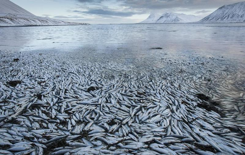 Herring worth billions in exports are seen floating dead Tuesday Feb. 5 2013 in Kolgrafafjordur, a small fjord on the northern part of Snaefellsnes peninsula, west Iceland, for the second time in two months. Between 25,000 and 30,000 tons of fish died in December and more now, due to lack of oxygen in the fjord thought to have been caused by a landfill and bridge constructed across the fjord in December 2004. The current export value of the estimated 10,000 tons of herring amounts to ISK 1.25 billion ($ 9.8 million, euro 7.2 million), according to Morgunbladid newspaper. (AP Photo/Brynjar Gauti)