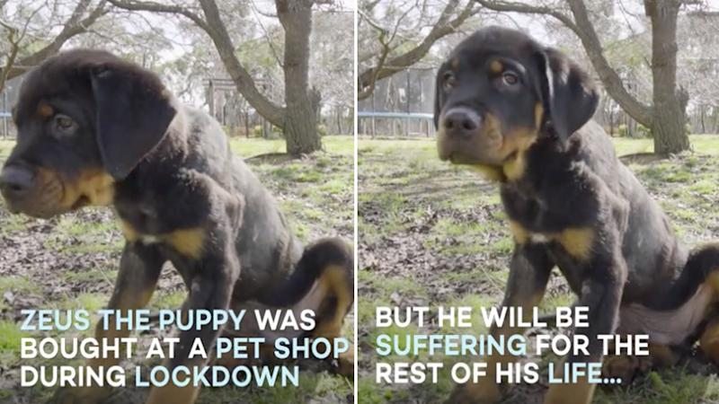 puppy farming in australia