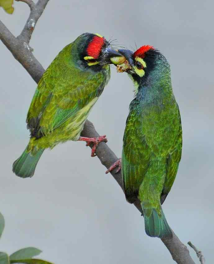 "Courtship feeding of Coppersmith Barbets<br>By <a target=""_blank"" href=""http://www.flickr.com/photos/58579072@N08/"">srimantid</a>"