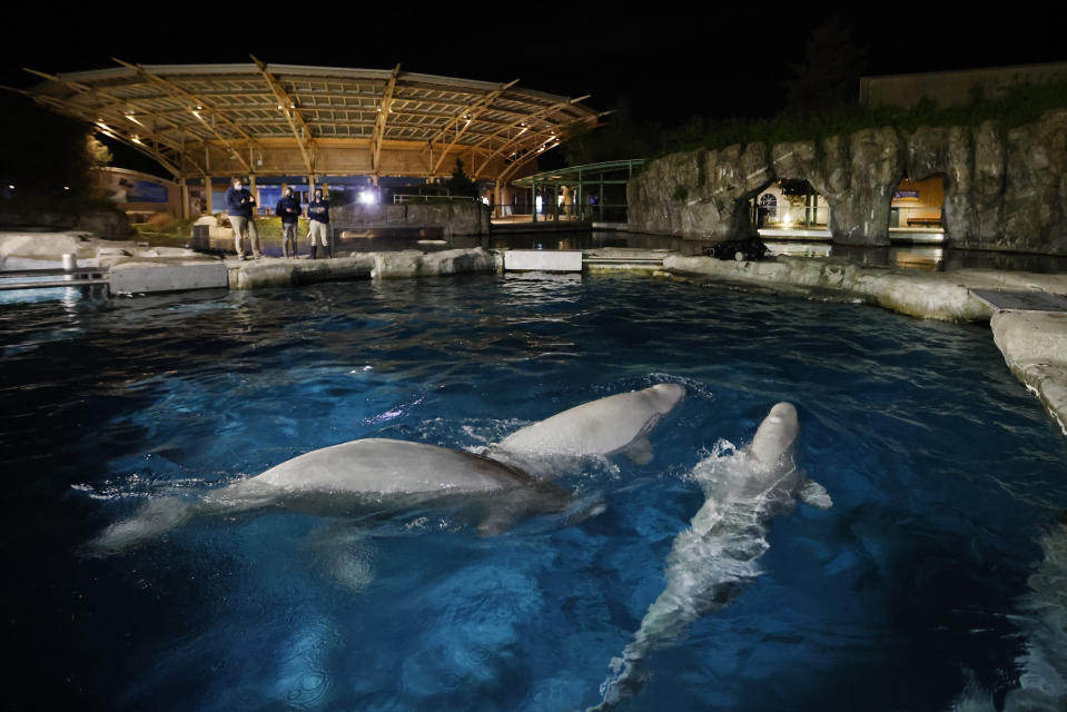 FILE - Three beluga whales swim together in an acclimation pool after arriving at Mystic Aquarium, May 14, 2021 in Mystic, Conn. The aquarium says that a second of the five beluga whales it imported in May from a marine park in Canada is in failing health. The revelation comes three weeks after a male beluga, who was also part of the group that arrived from Marineland in Niagara Falls, died. (Jason DeCrow/AP Images for Mystic Aquarium, File)