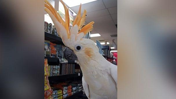 PHOTO: Cleo the cockatoo is seen in this undated handout photo. This image released by the Palmdale Sheriff's Station shows two exotic cockatoos, named Cleo and Yoda, that were stolen from High Country Feed & Pets in Palmdale, Calif., Jan. 25, 2020. (Palmdale Sheriff's Station)