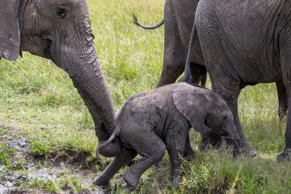 Mother rescues baby elephant stuck in mud pool