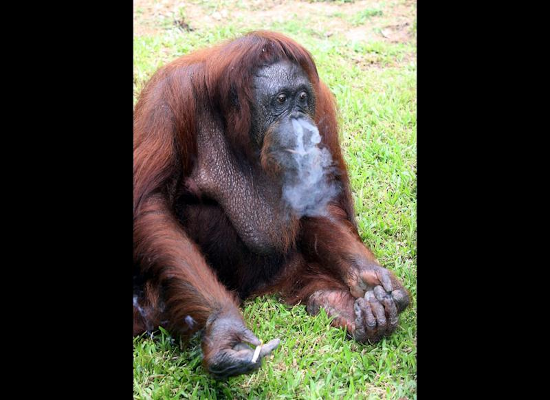 An orangutan in Malaysia is kicking its smoking habit. Wildlife officials have removed Shirley from a state zoo after the captive primate was regularly spotted smoking cigarettes that zoo visitors had tossed into its enclosure.