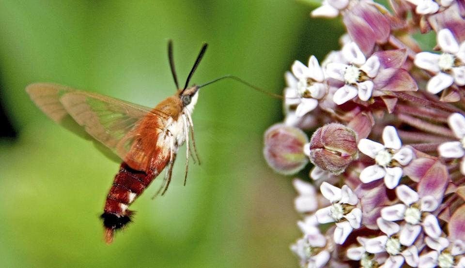 """<p><strong>What it is</strong>: <em>Hemaris </em>spp.</p><p><strong>Where it's from</strong>: North America, Africa, Europe, and Asia</p><p><strong>What to know</strong>: No, that's not a hummingbird—it's actually a moth! Several species of the day-flying insects are common throughout the world, per the <a href=""""https://www.fs.fed.us/wildflowers/pollinators/pollinator-of-the-month/hummingbird_moth.shtml"""" rel=""""nofollow noopener"""" target=""""_blank"""" data-ylk=""""slk:U.S. Forest Service"""" class=""""link rapid-noclick-resp"""">U.S. Forest Service</a>, and they move and feed on nectar much like their avian lookalikes.</p>"""