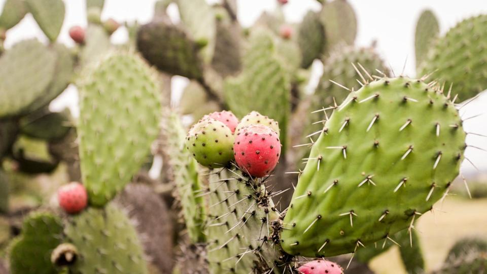 Close image of prickly pear plant in desert.