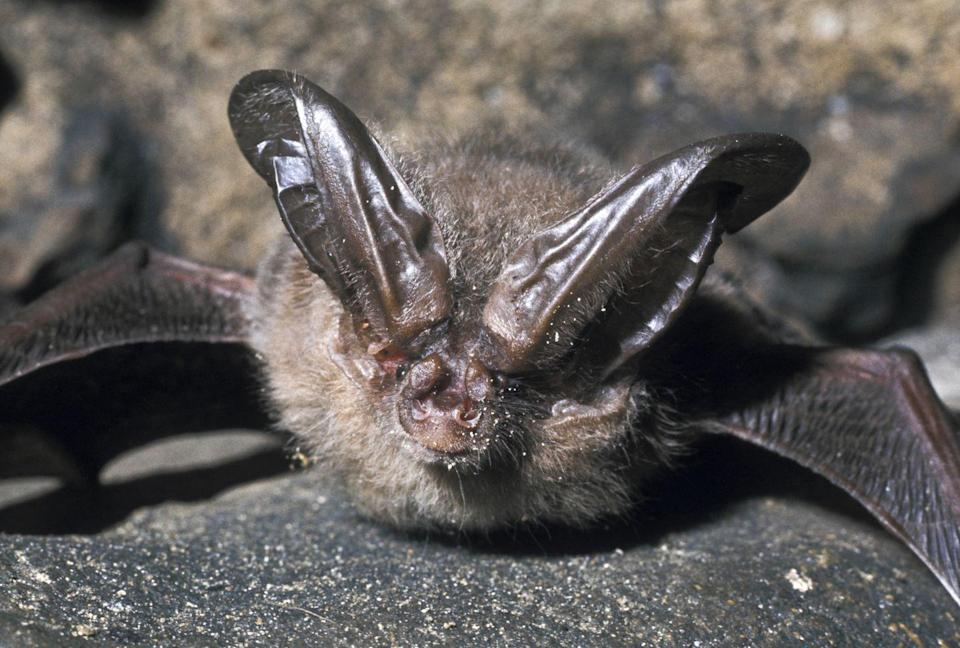 <p><strong>Virginia Big-Eared Bat - </strong>Most of the 20,000 population can be found in eastern West Virginia and a 77% population increase was recently reported. </p>