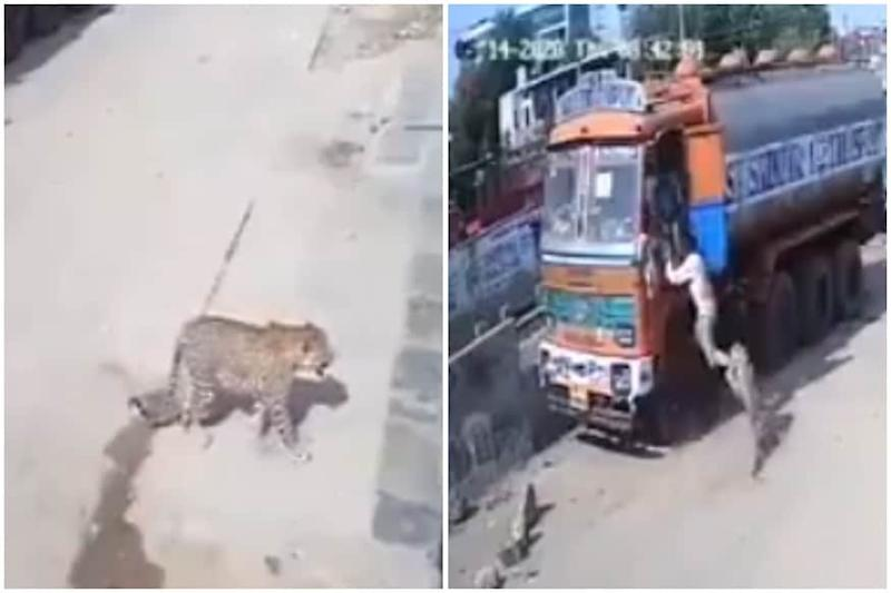 Watch: Leopard Attacks Truck Cleaners Days After Being Spotted Resting in Hyderabad