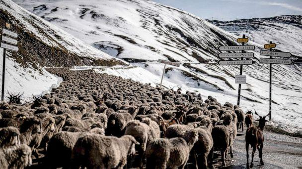 PHOTO:  A flock of sheep goes down the road in the Croix de Fer path, a mountain pass in the Dauphine Alps in Savoie, Sept. 29, 2020.  (Jeff Pachoud/AFP via Getty Images)