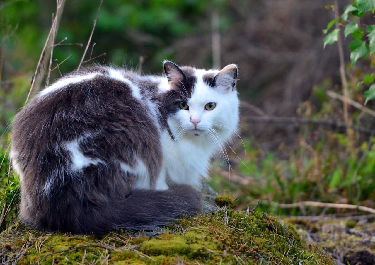 """<p>The thick <a href=""""https://iheartcats.com/8-cat-breeds-that-love-water/"""" target=""""_blank"""">fur on Norwegian Forest Cats helped the breed survive</a> and evolve over the course of many Scandinavian winters, explains iHeartCats. It continues to keep them warm in the present day, which means they're unbothered by wet or cold weather.</p>"""