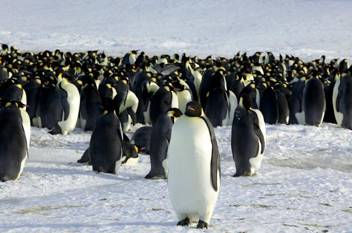 A discovery of 11 emperor penguin colonies means there are at least a half million of the flightless birds waddling around.