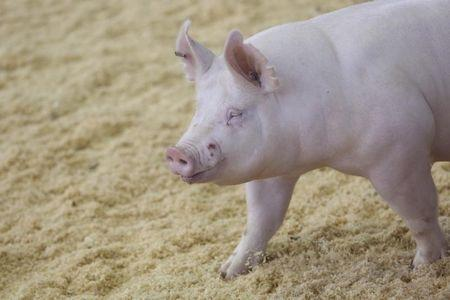 A pig walks on the show floor at the 2014 World Pork Expo