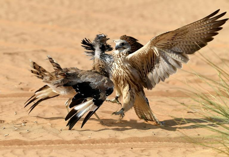 Falcons are used to hunt houbara bustards, a type of migratory bird