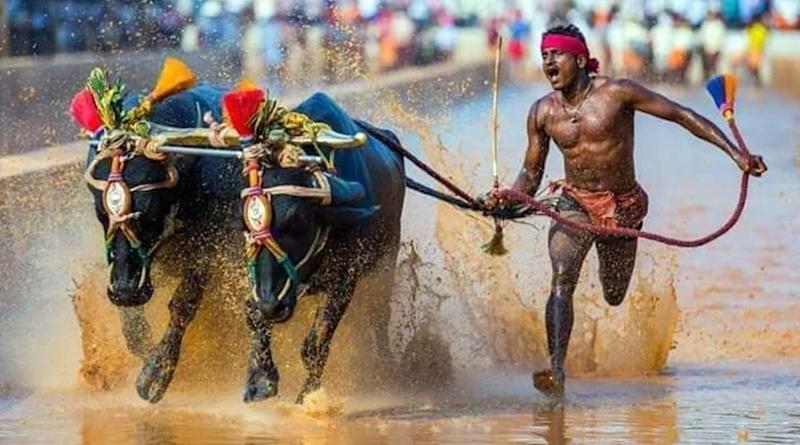 Who is Srinivasa Gowda? Know Everything About Kambala Buffalo Jockey Who Covered 100 Meters in 9.55 Seconds, Gets Compared to Usain Bolt