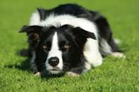 """<div class=""""caption-credit""""> Photo by: NICK RIDLEY, ANIMAL PHOTOGRAPHY</div><div class=""""caption-title"""">Border Collie</div>Often referred to as a canine Einstein, the <a href=""""http://www.vetstreet.com/dogs/border-collie"""" rel=""""nofollow noopener"""" target=""""_blank"""" data-ylk=""""slk:Border Collie"""" class=""""link rapid-noclick-resp"""">Border Collie</a> has a desire to work that borders on the obsessive. He will herd anything that comes his way - kids, cats, cars, even a bag of oranges that have spilled onto the floor. His intelligence and energy make him a fabulous competitor in dog sports, but if he is underemployed at home, he is likely to develop compulsive behaviors such as chasing light and shadows, twirling in circles, and bouncing up and down. Be prepared to keep him busy with dog sports, activities around the house, regular training sessions and plenty of daily exercise."""