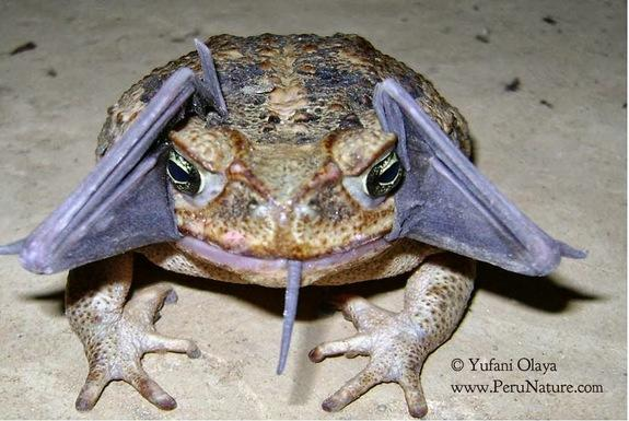 Bizarre Sighting: Cane Toad Eating a Bat?