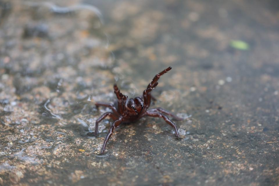 A funnel web spider is pictured.