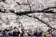 Cherry blossoms symbolise the fragility of life in Japanese culture