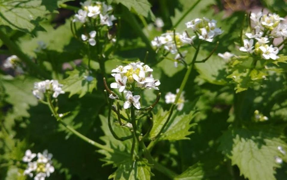 An aggressive forest invader is popping up in Ont. You can help by eating it.