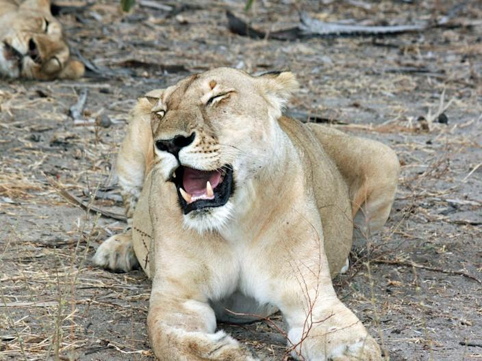 Some subspecies of lions are endangered.
