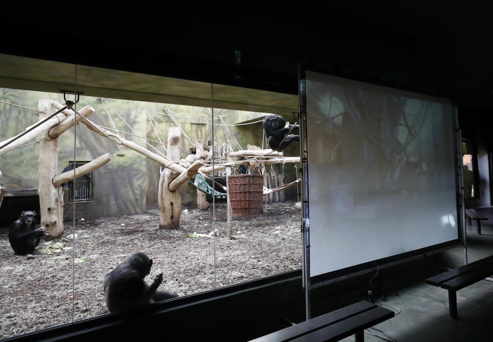 Chimpanzees watch a screen set at the enclosure at the Safari Park in Dvur Kralove, Czech Republic, Monday, March 15, 2021. To enrich everyday life of their chimpanzees amid a strict lockdown, a zoo park in the Czech Republic has installed a big screen in their enclosure to broadcast for them what fellow chimpanzees are doing at a zoo in Brno. The Safari Park launched the experimental project to give the chimpanzees somebody to watch and give them some fun after crowds of visitors disappeared when the zoo was closed due to the coronavirus pandemic on Dec 18, 2020. (AP Photo/Petr David Josek)