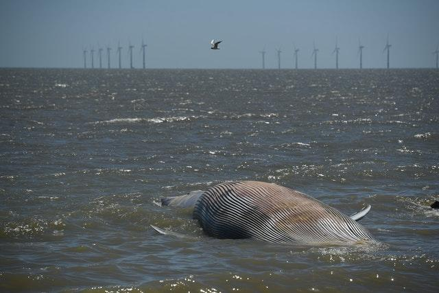 Whale washed up in Clacton