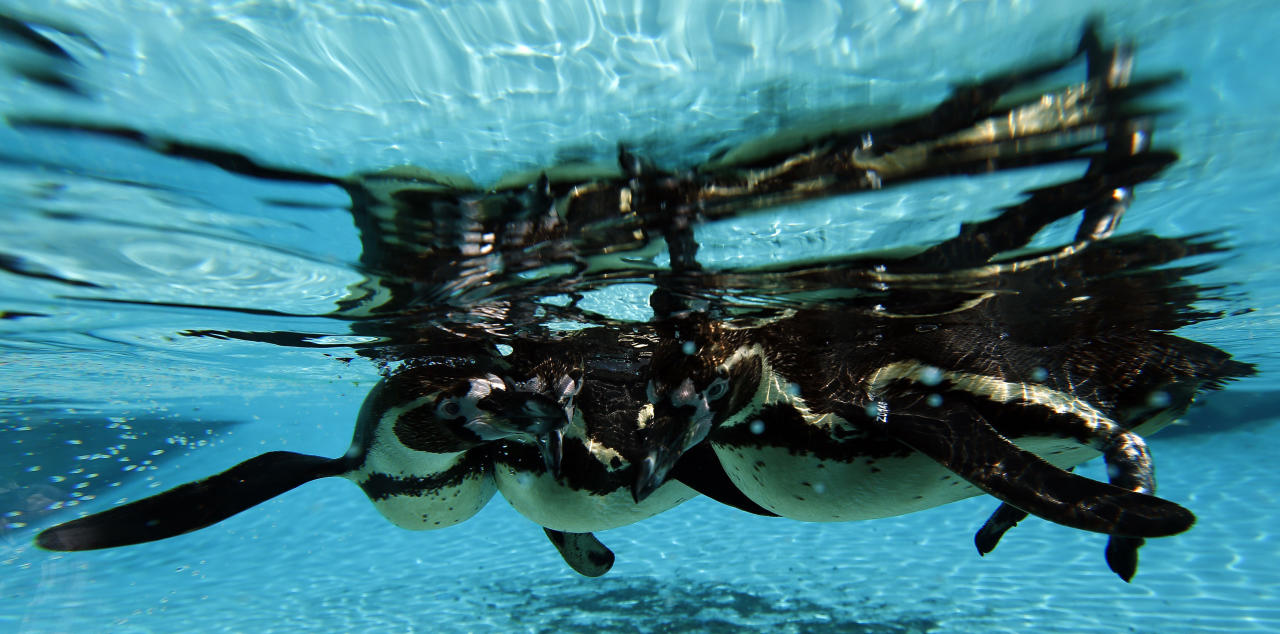 Humboldt penguins swim together at ZSL London Zoo in Regents Park, London.